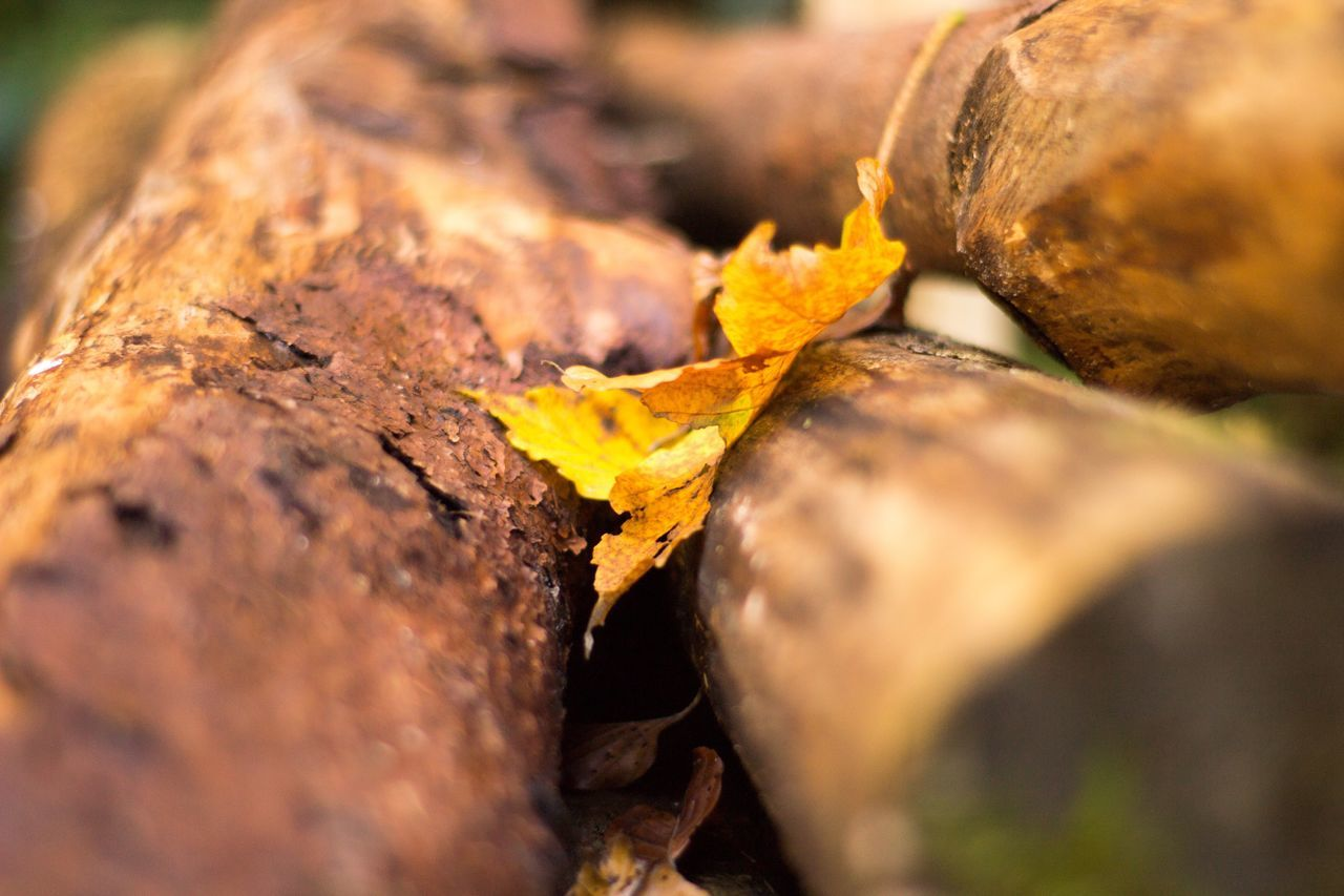 selective focus, leaf, close-up, change, autumn, no people, nature, day, outdoors