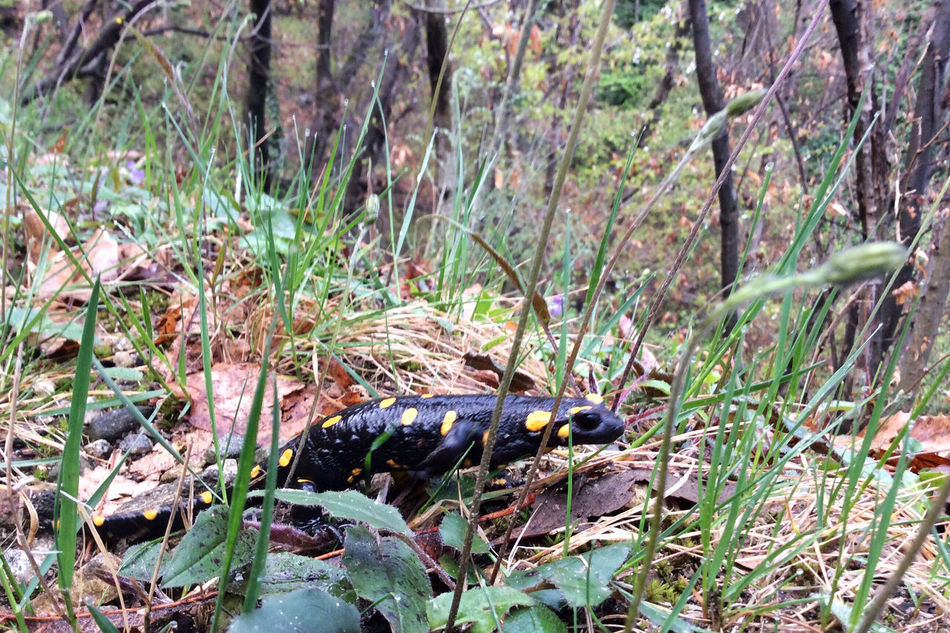 100%✨ Animal Beauty In Nature Landscape Thankful You Raise Me Up✨ EyeEm Best Shots EyeEm Nature Lover Eye4photography  Ipadphotography Thank You My Friends 😊 Yello Spotted Salamander Fire Salamander
