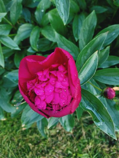 Pink Peony Flower Nature Beauty In Nature Petal Plant Leaf Growth Pink Color Freshness No People Fragility Outdoors Green Color Day Flower Head Close-up Peony