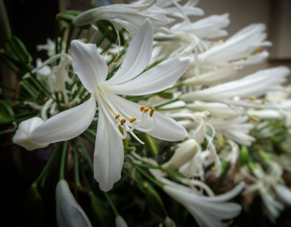 white agapanthus Agapanthus Beauty In Nature Blooming Close-up Day Flower Flower Head Fragility Freshness Growth Nature No People Outdoors Petal Plant White White Color White Flower