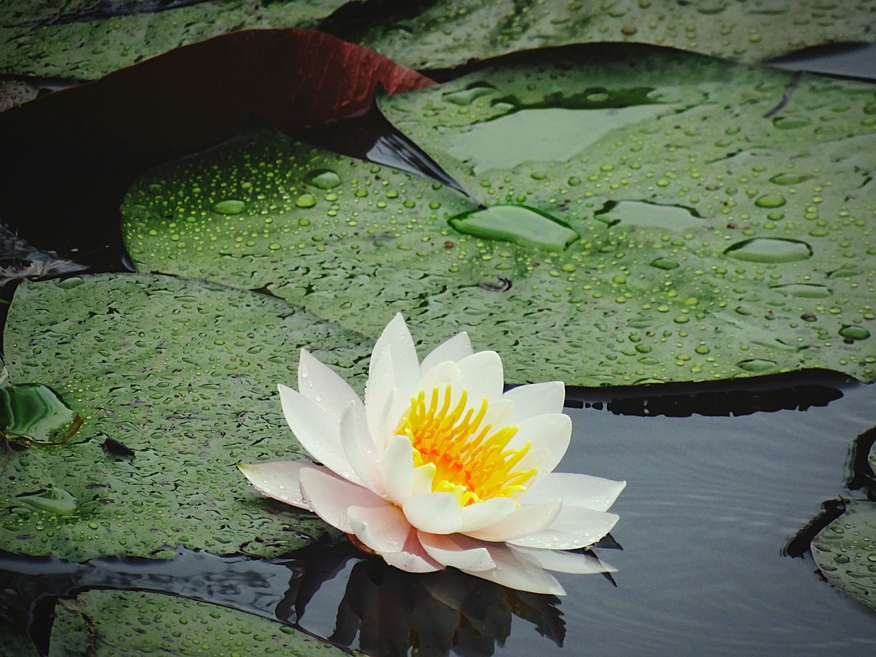 Water Lilies. Lilly Pads. Water Lily Garden Photography Water Lily, Flower White Flower