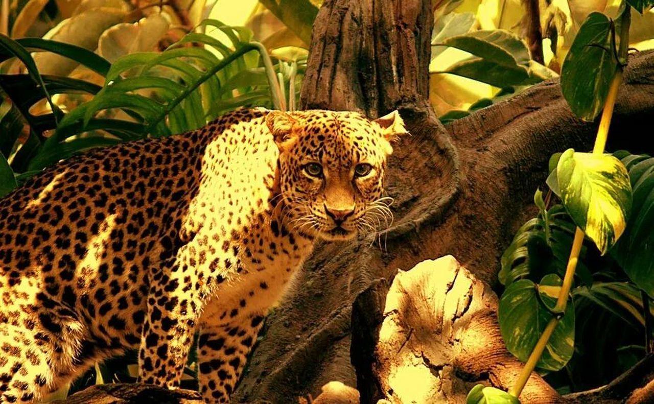 Animal Big Cat Wild Life Nature