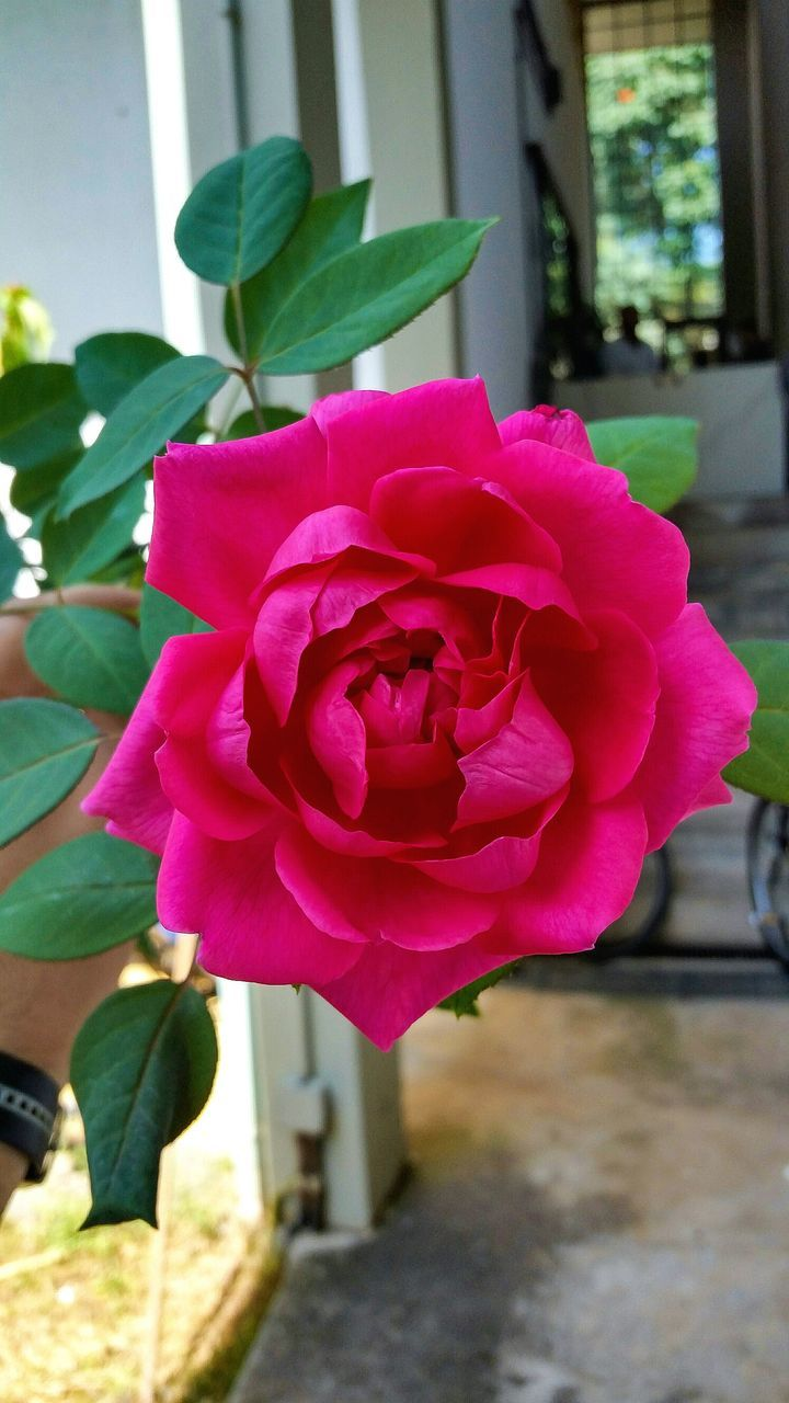 flower, petal, pink color, nature, beauty in nature, rose - flower, no people, day, fragility, close-up, flower head, outdoors, growth, freshness