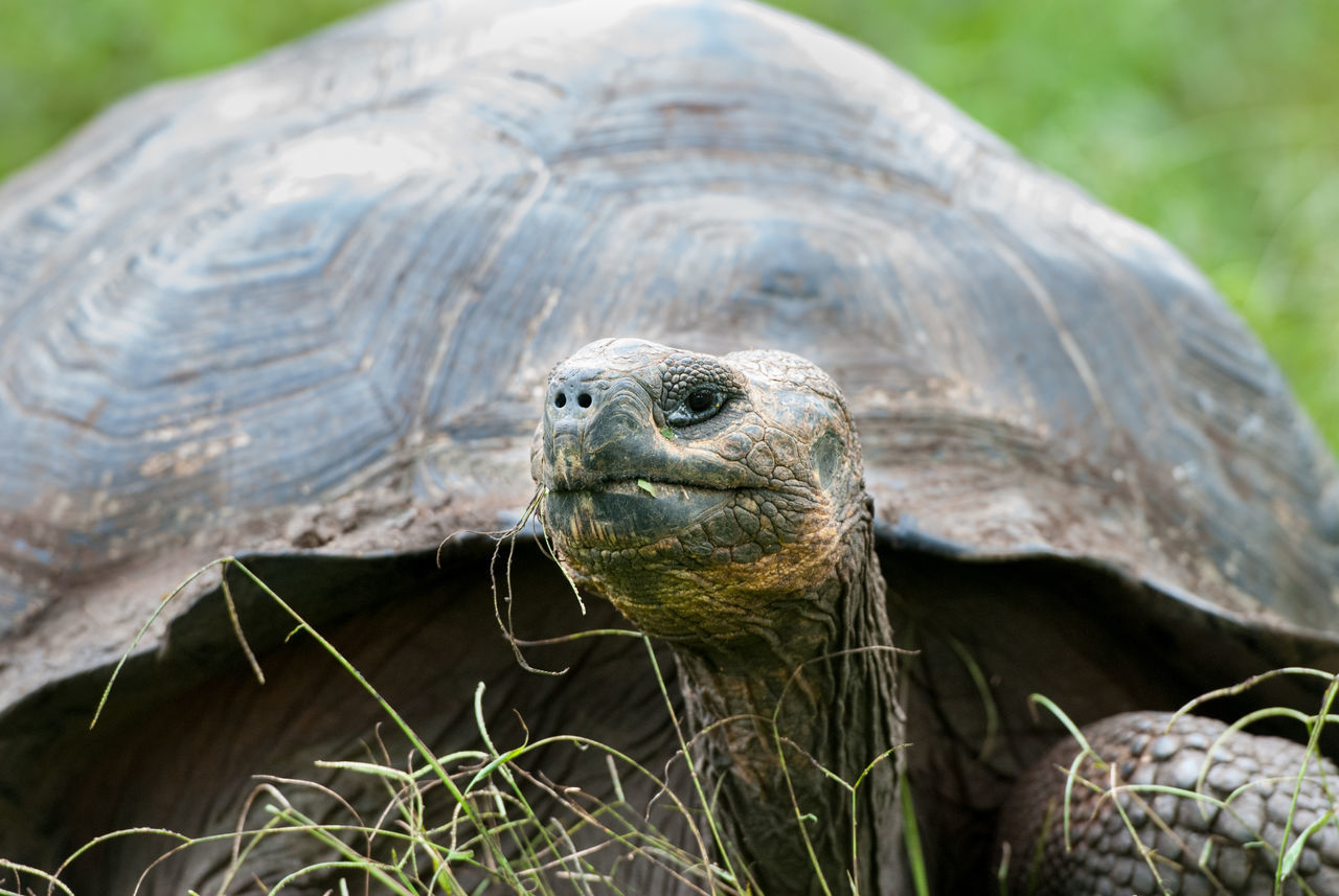 Galapagos Giant Tortoise Animal Behavior Animals In The Wild