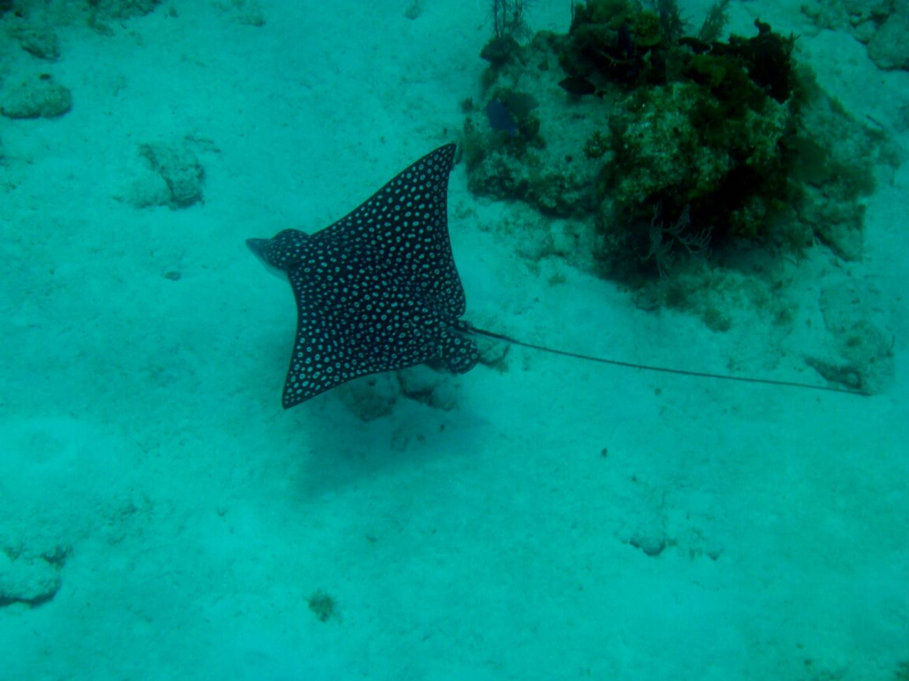 Snorkeling in Roatan Honduras Snorkeling Swimming With The Fish Eagleray