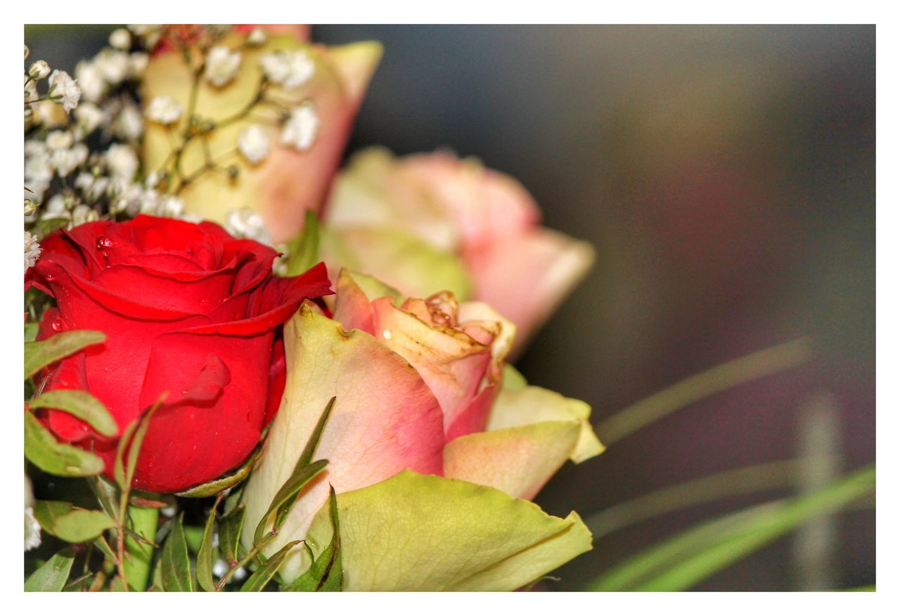 flower, petal, rose - flower, beauty in nature, nature, flower head, fragility, close-up, no people, red, freshness, plant, growth, gift, outdoors, day