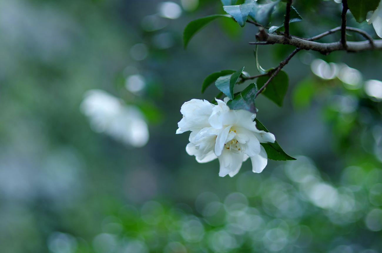 Winter Fiower Bokeh Camellia EyeEm Nature Lover Flower Flowerporn Pentax K5ll Taking Photos White Color
