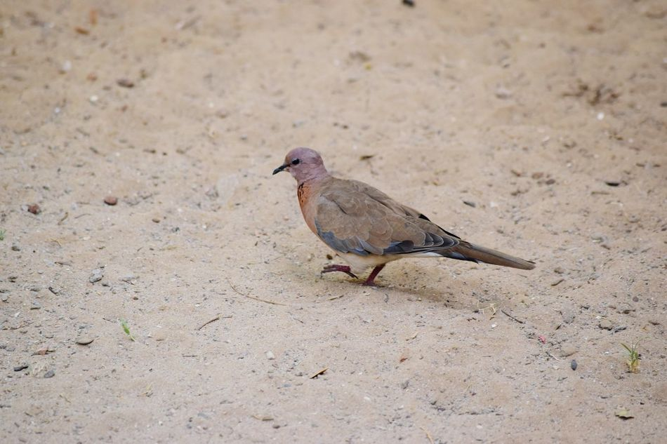 Laughing Dove The Essence Of Summer Taking Photos Birds Of EyeEm  Dove Doves Drought Drought Victim Spotted Dove Indian Dove Bird Photography No Edit/no Filter