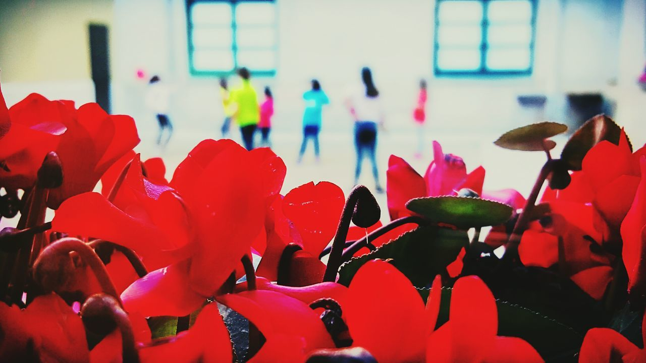 Flower Red Flower Head Nature Growth Beauty In Nature Children From The Window Playing Petal