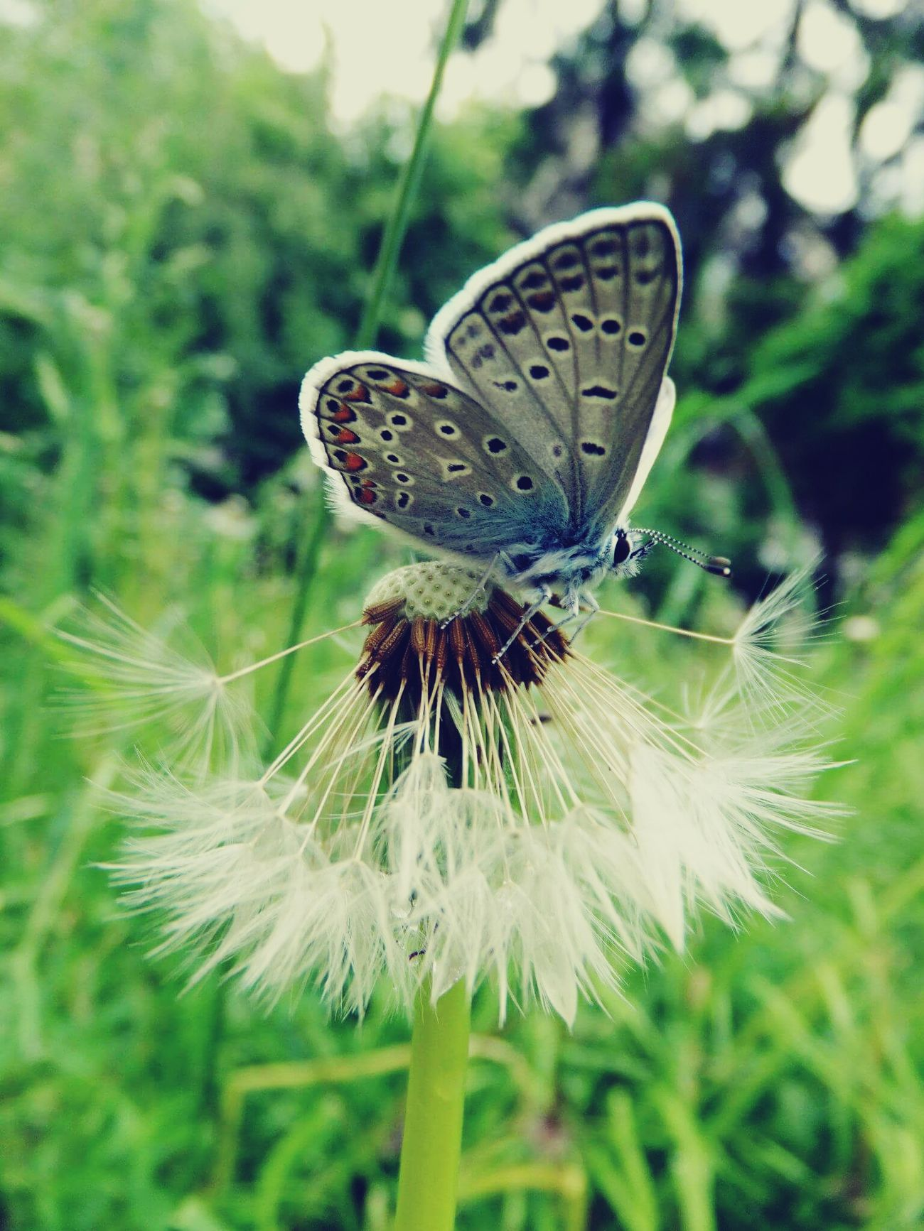 Maximum Closeness Butterfly - Insect Perfect Shot Butterfly Eating Fragility Close-up My Yard  Focus On Insect Beautiful Butterfly I Love This World I Love Nature Life Summershots No People Tranquility Peaceful Day Lovely Creature Dandelion Fluff