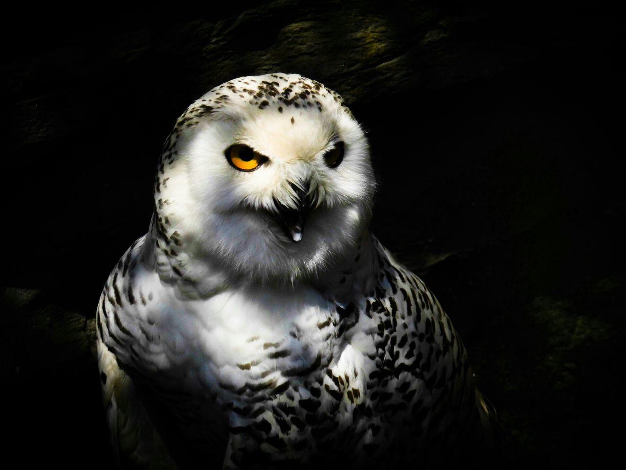 Beautiful stock photos of owl, Animal Themes, Animals In The Wild, Bird, Close-Up