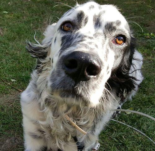 LeoDayı Dogs English Setter