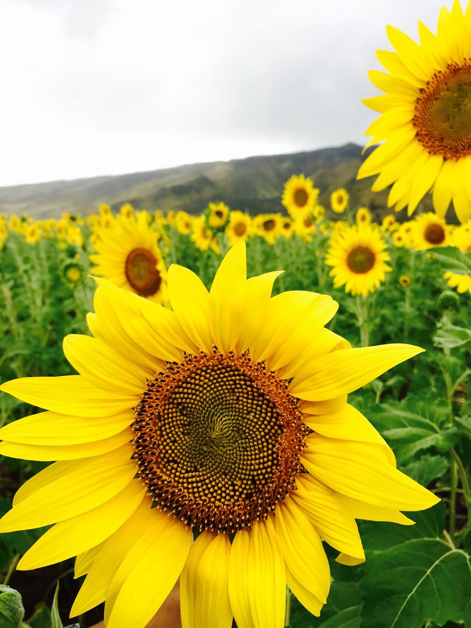 Close-Up Of Fresh Yellow Sunflower Blooming In Field Against Sky