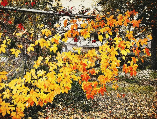 """""""Gold Fever"""" Golden Autumn leaves run a fence like a vein of gold in the Motherlode. Autumn Leaves New Mexico Photography New Mexico Chainlink Fence Fall Leaves Fall Beauty Fall Colors Vines And Leaves Gold Colored Autumn Colors Autumn Gold No People Outdoors"""