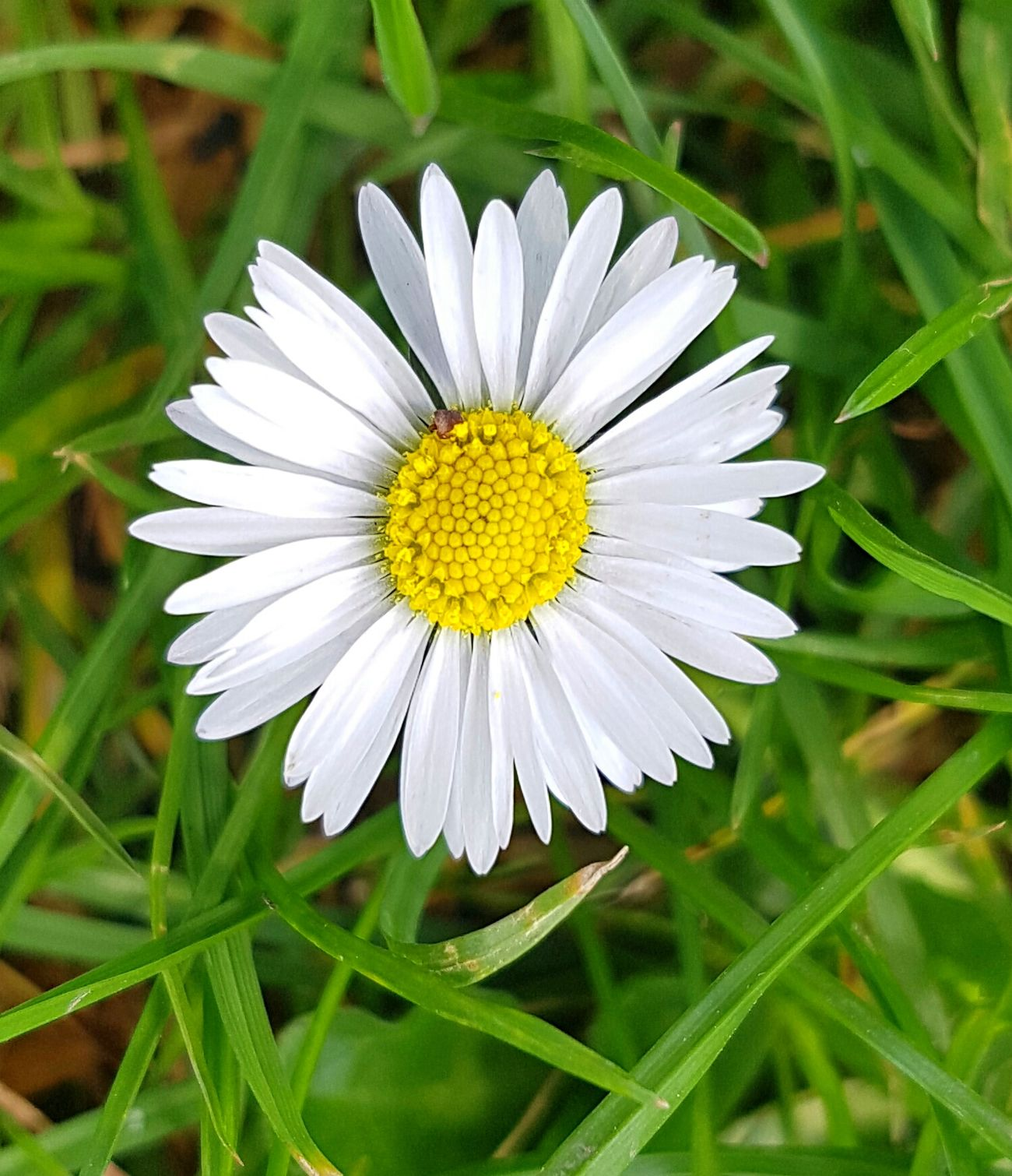 Flowers, Nature And Beauty Flowers Flower Collection Flower Photography Flower Head Daisy Flower Daisy 🌼 Daisy Close Up Colour Of Life Colours