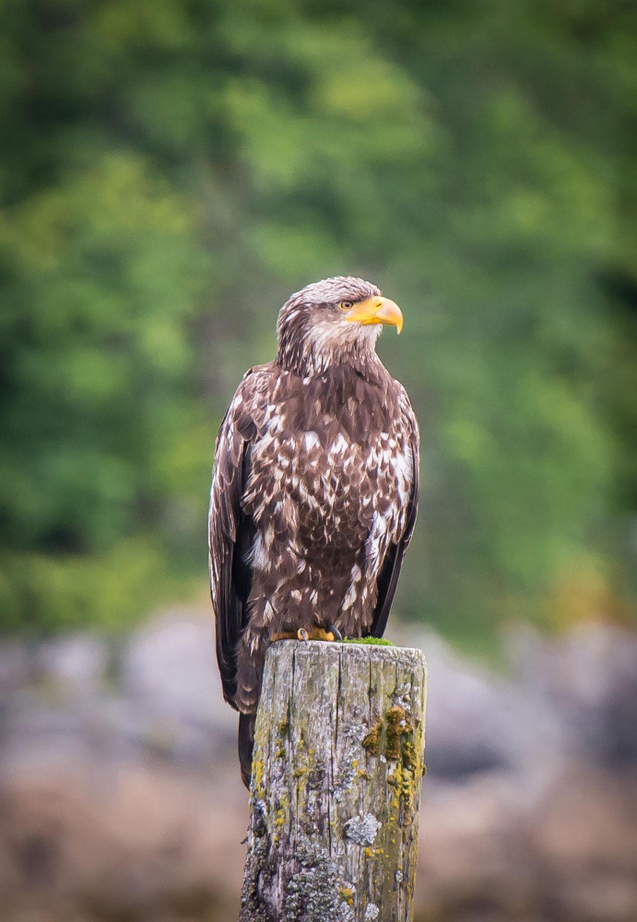 Beautiful stock photos of eagle, Animal Head, Animal Themes, Animals In The Wild, Bald Eagle