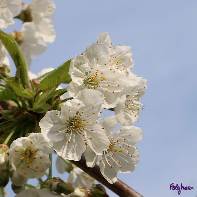 cherry flower - fiore di ciliegio - flor de cerezo - вишня в цвету - #cherry #tree #nature #pictureoftheday #naturaamica #vegan #flowers Nature Enjoying Life Vegan Cherry