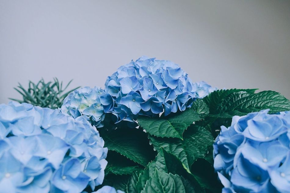 BluE//.💙 Blue Flower Love Home Nature Plant Green Color Springtime Spring Leaf Leaves Growth Freshness Close-up Hydrangea Minimal Minimalism Lifestyles Life Beauty In Nature Indoors  Still Life Detail Colors Art Is Everywhere Break The Mold