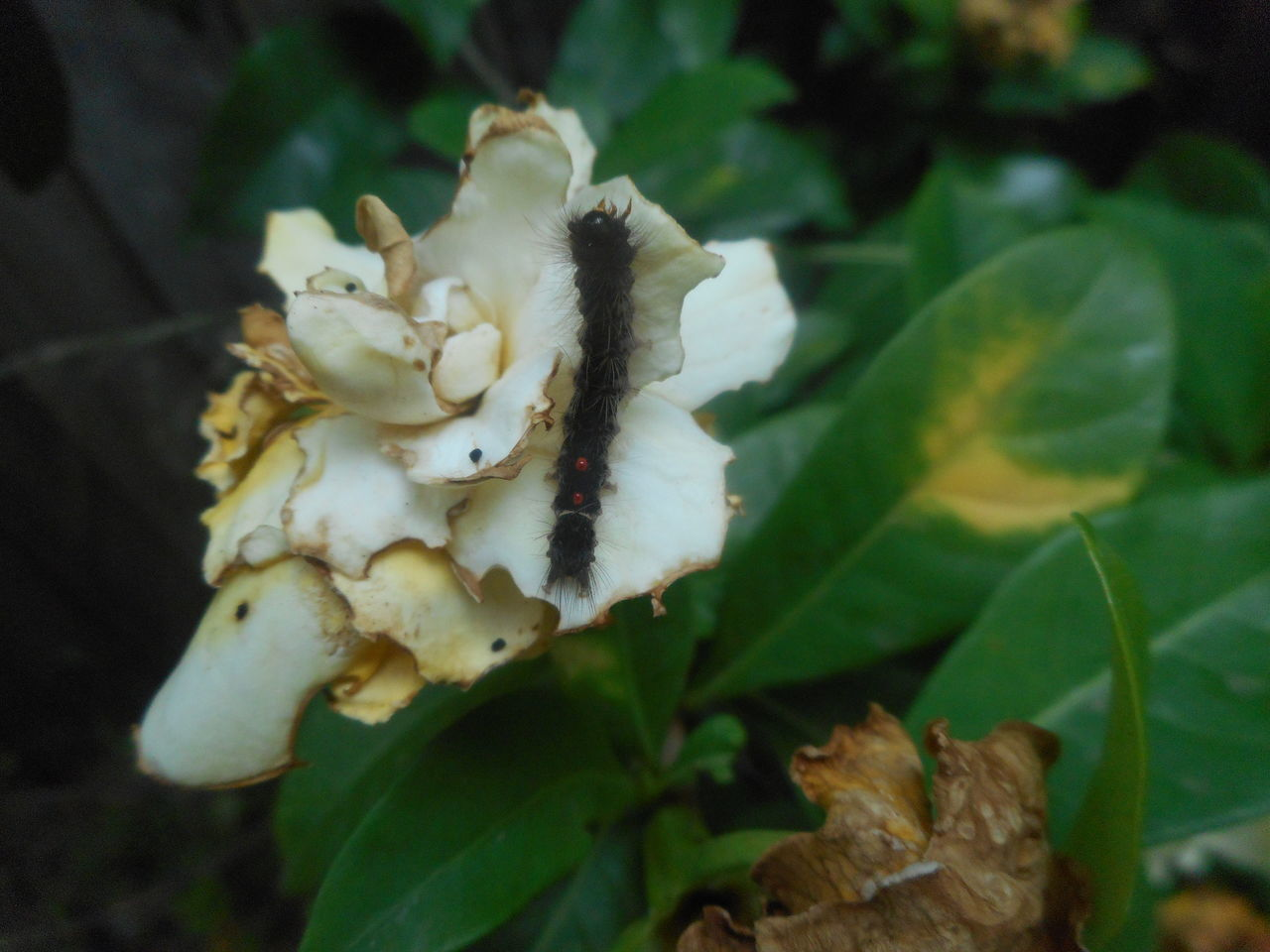 Australia Beauty In Nature Blooming Caterpillar Flower Flower Head Fragility Garden Pest Gardenia Gardenia Flower Gardenias Hungry Caterpillar Leaf Nature Pests Plant Transformation