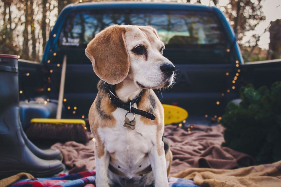 Pick-Up shoot totday 😊 Dog Dogs Dogs Of EyeEm Beagle Beagles  Pets One Animal Sitting Domestic Animals Outdoors Autumn Autumn Colors Autumn Leaves Authentic Moments Nature Nature_collection Nature Photography EyeEm Nature Lover Forest Woods The Great Outdoors - 2016 EyeEm Awards EyeEm Best Shots Canon Canonphotography Bokeh Fresh On Market 2016