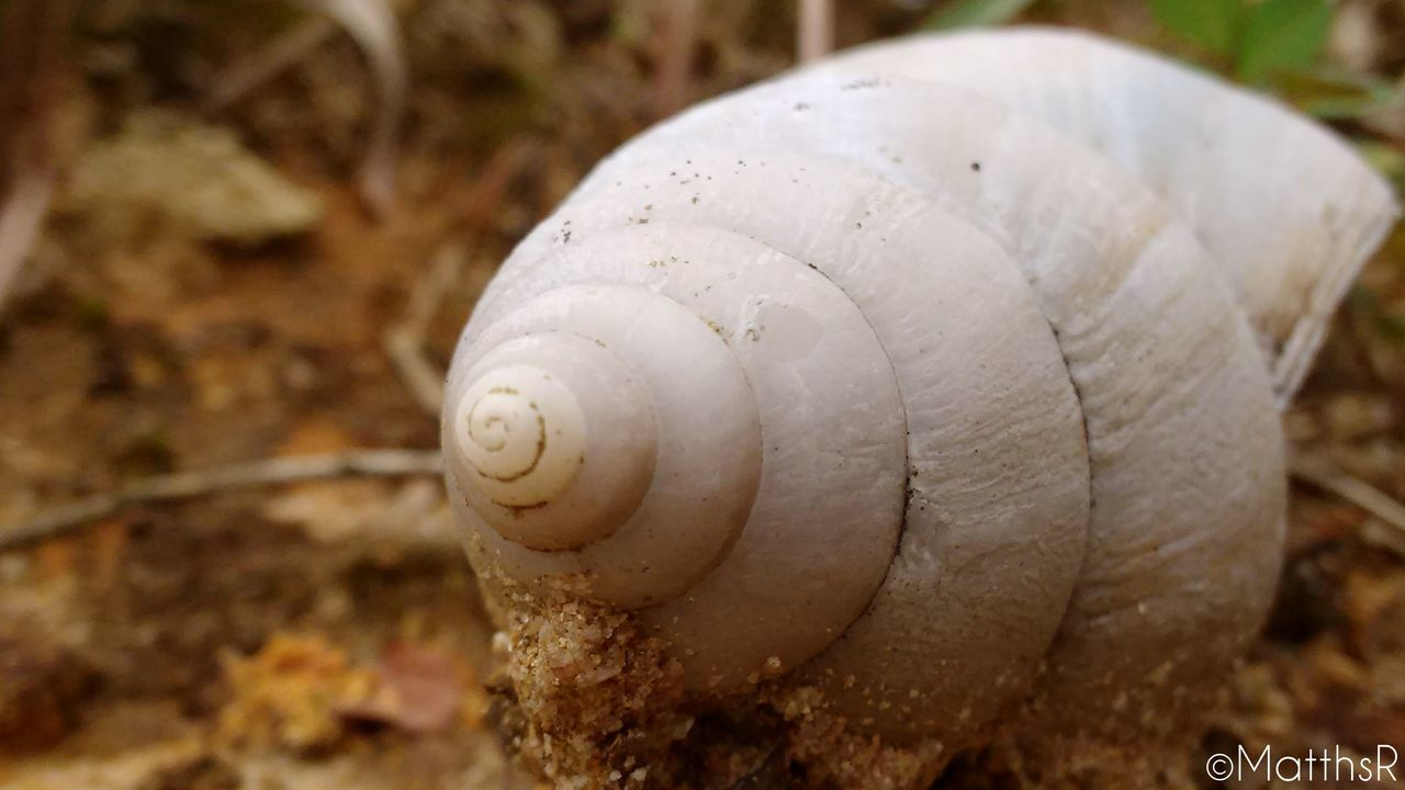 snail, one animal, animal shell, animal themes, animals in the wild, wildlife, gastropod, focus on foreground, close-up, nature, no people, day, outdoors, animal wildlife, fragility, sea life, slug