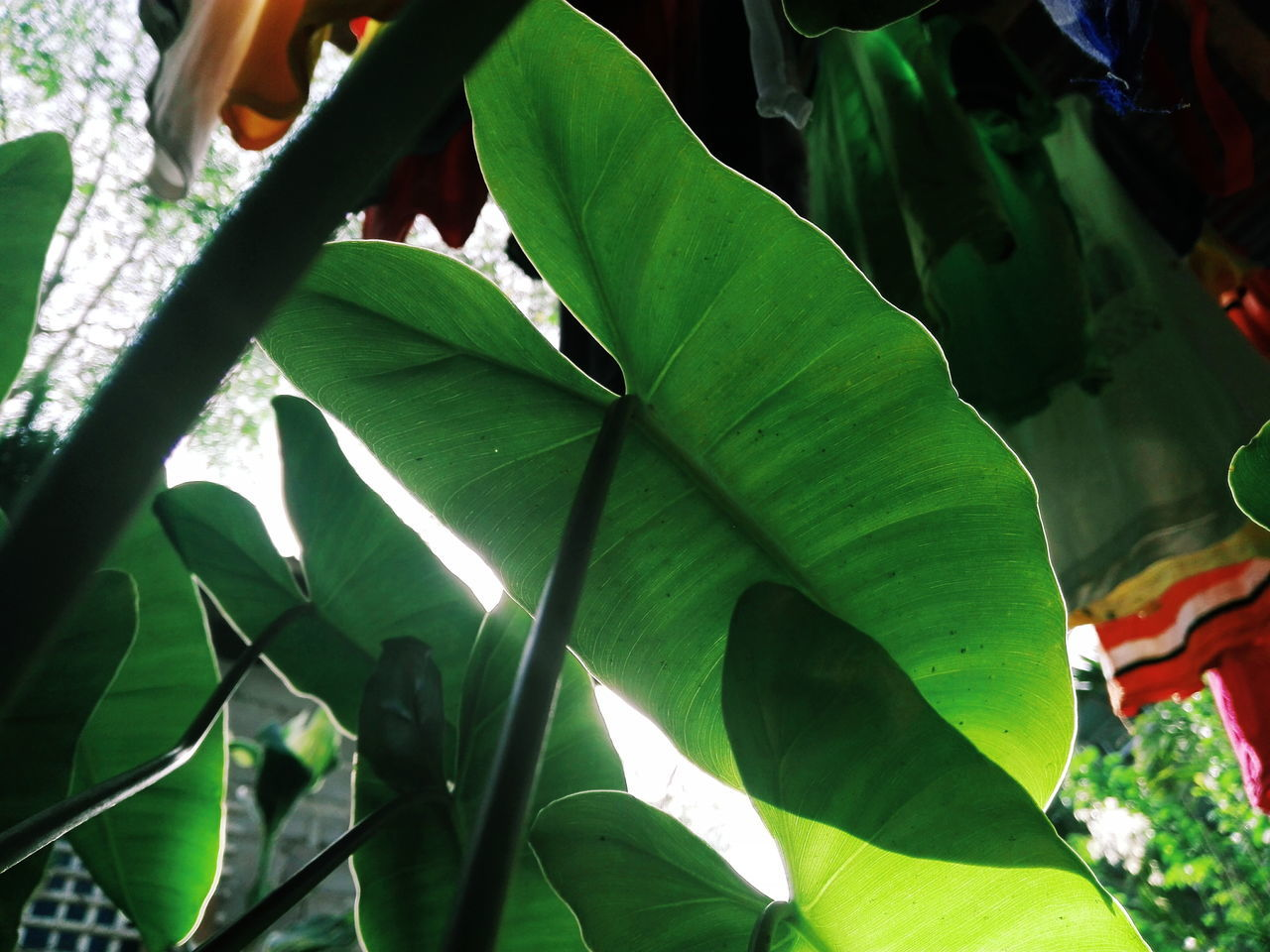 leaf, green color, growth, nature, day, outdoors, no people, beauty in nature, banana leaf, plant, banana tree, close-up, freshness, tree, fragility