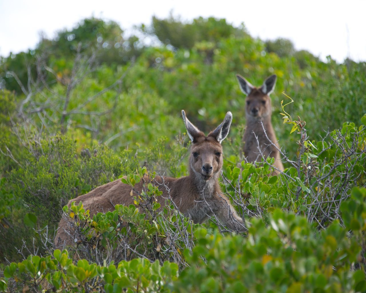 Beautiful stock photos of kangaroo, Animal Themes, Animal Wildlife, Animals In The Wild, Beauty In Nature