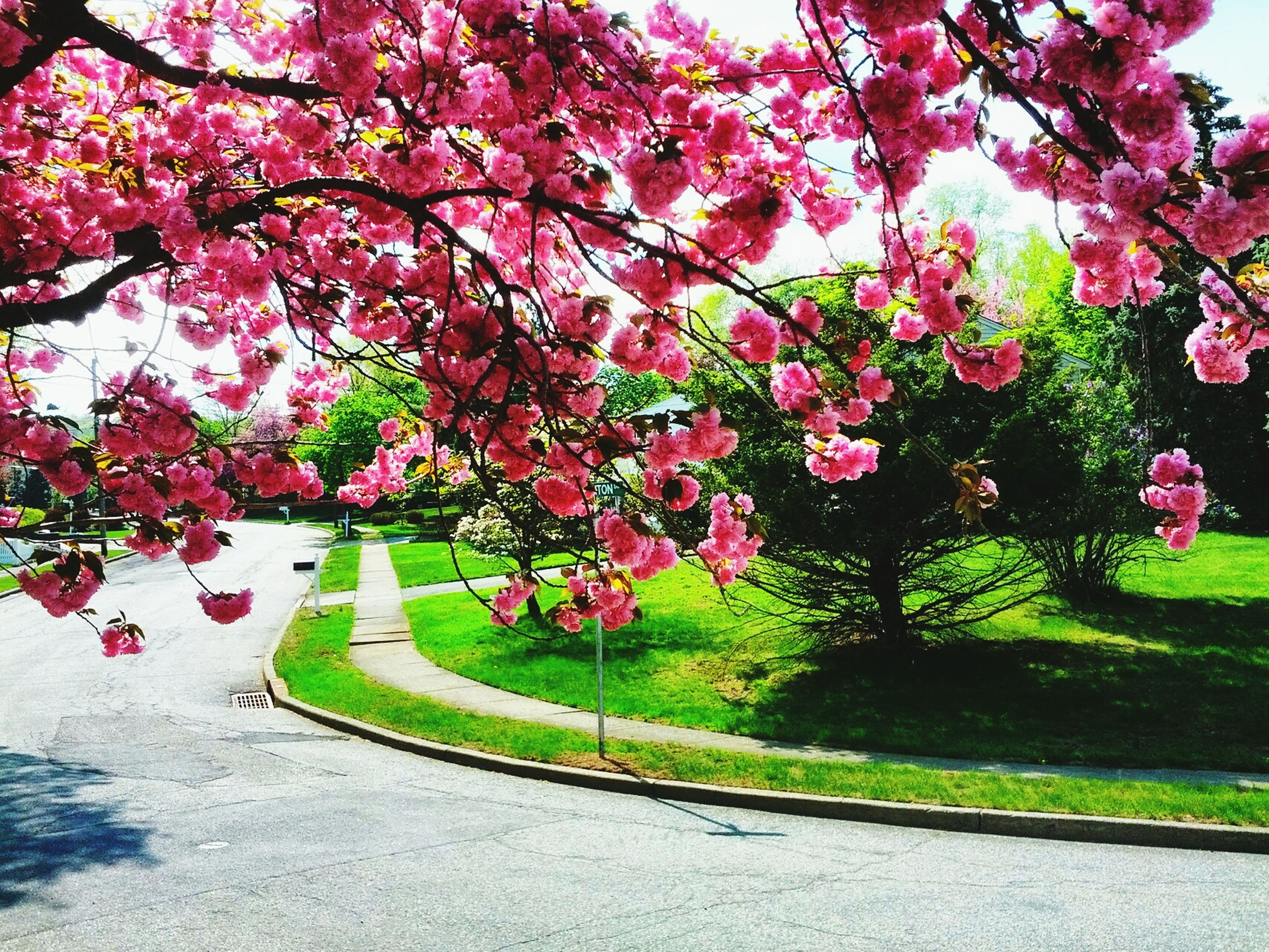 flower, tree, growth, pink color, park - man made space, freshness, beauty in nature, nature, branch, green color, blossom, fragility, plant, park, in bloom, day, garden, outdoors, footpath, formal garden