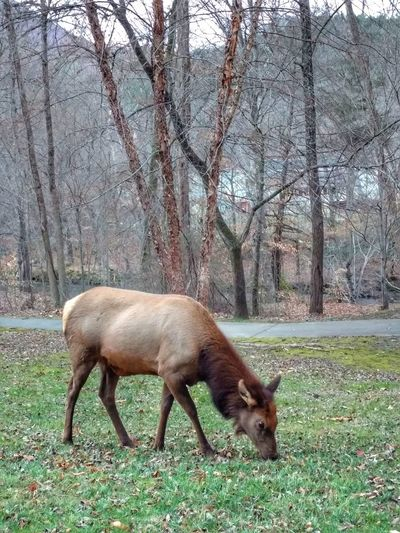 Elk Grazing Animal Themes Grazing No People One Animal Outdoors Nature Grass Elk Bare Trees Cherokee, NC Smokey Mountains, NC EyeEm Nature Lover Cell Phone Photography