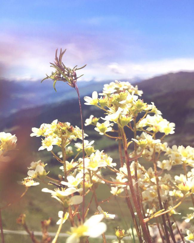Flowers Swiss Alps