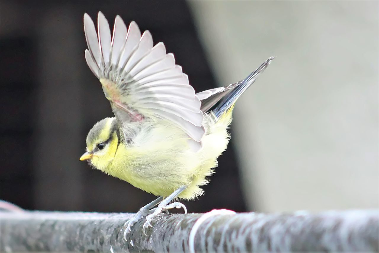 Adorable Nature Baby Blue Titmouse Baby Feathers Close-up Delicate Beauty Focus On Foreground Learning To Fly Perching Spread Wings
