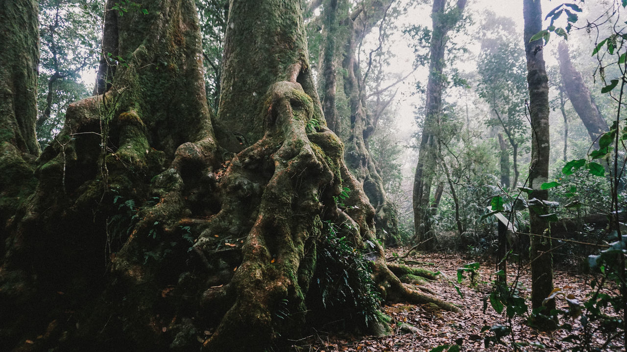 tree, tree trunk, forest, nature, growth, day, woodland, no people, tranquility, branch, moss, tranquil scene, scenics, beauty in nature, outdoors