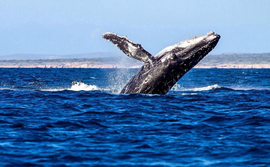 Whale Humpback Whale Breaching Shark Bay First Eyeem Photo