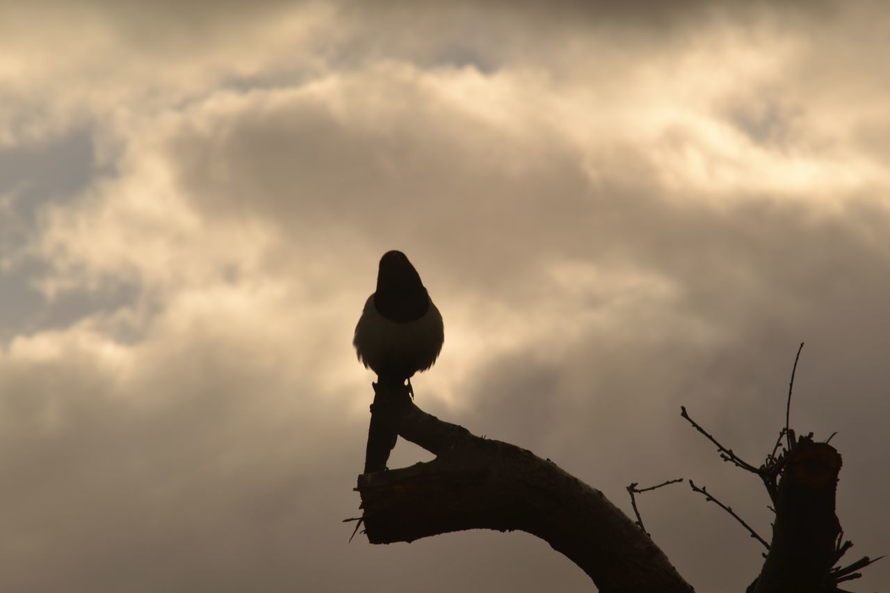 Magpie Silhouette Puffed_up Silhouette Photography Bird Photography Cloudy Background