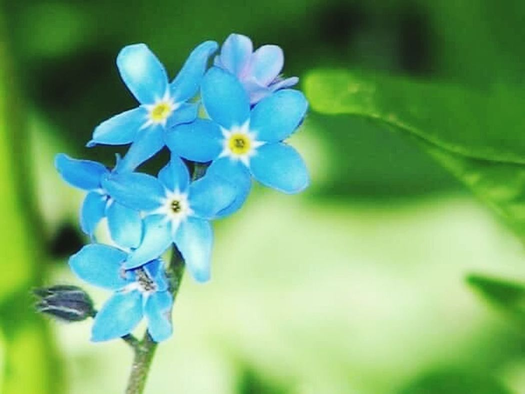 Blue Forgetmenot Beautiful Nature My Garden Favorite Pretty Flowers Gorgeous ♥ Beautiful BC