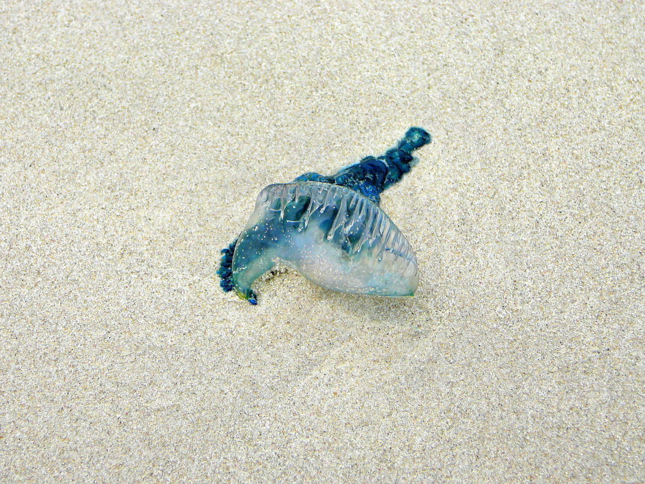 Lost Bluebottle ~ Beach Blue BlueBottle Bubble Day Low Tide Revelations Natal No People Outdoors Painful Beauty Sealife South Africa Stinger White Sand