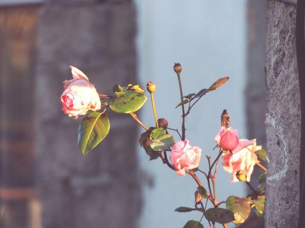 Plant Flower Nature Leaf Close-up No People Outdoors Day Rosé Rose Pink Pink Pink Color Pink Rose Pink Flower Roses Rose - Flower