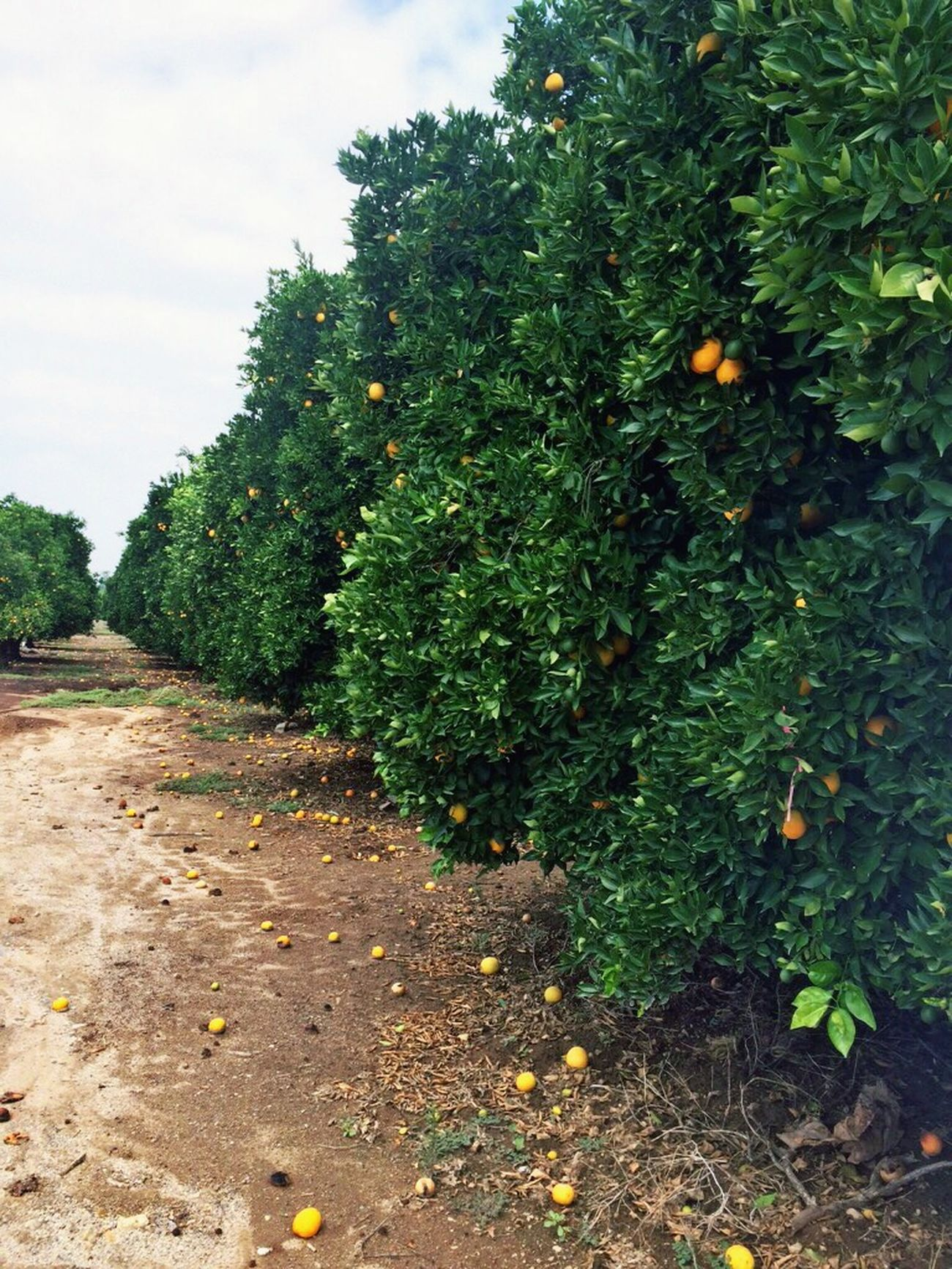Orange Lime Grapefruit Allin Ontheway Aynaphotography Roadtrip Trees California Big Bear
