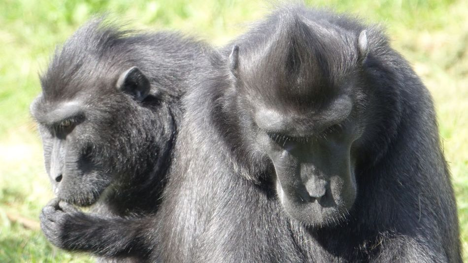 Pondering Animal Themes Animals In The Wild Mammal Day Outdoors No People Animal Wildlife Primate Close-up Nature Chimpanzee Monkey Chimpanzee Black Color Grass Togetherness Sitting Animal Family
