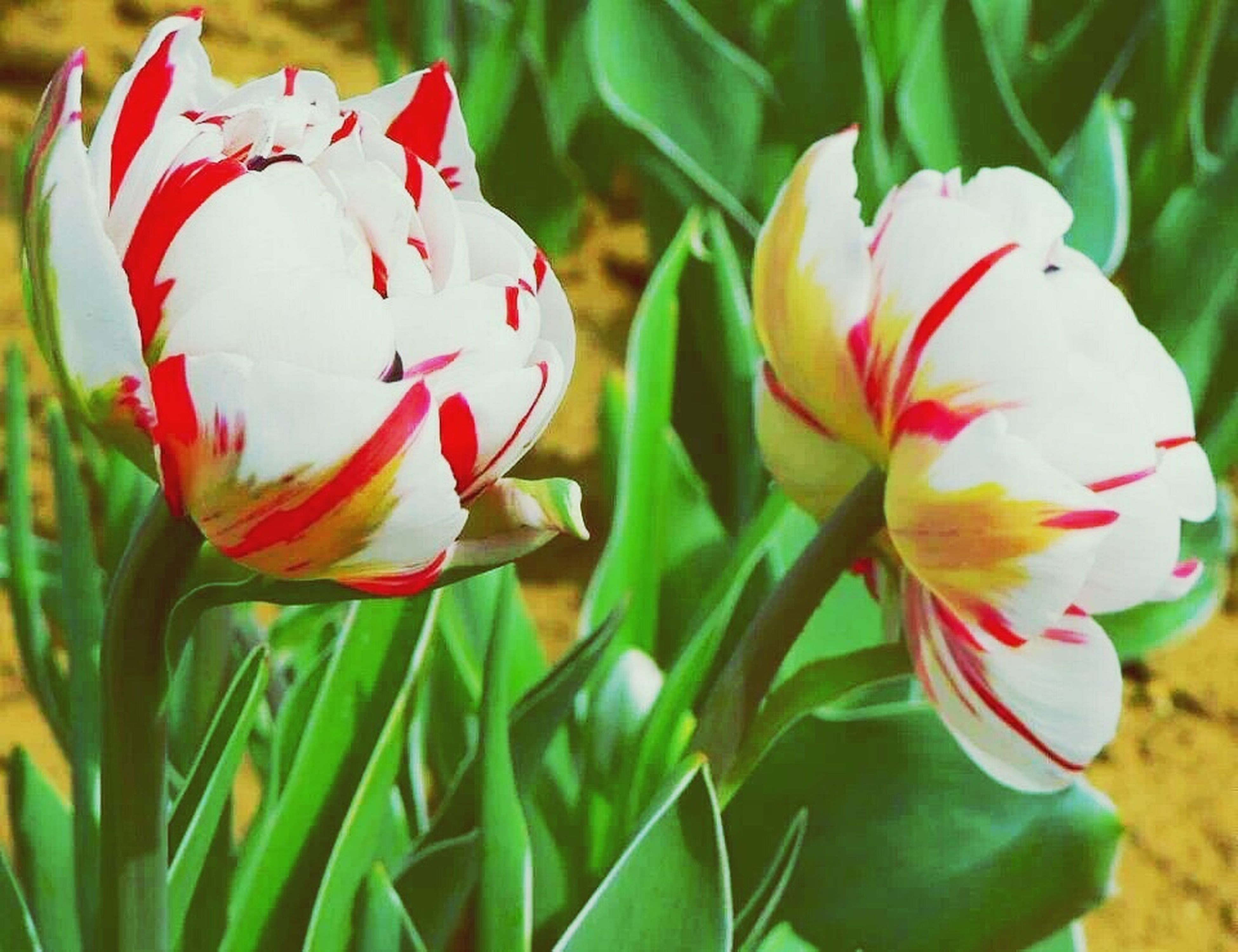 flower, petal, fragility, close-up, flower head, tulip, multi colored, freshness, plant, growth, beauty in nature, focus on foreground, nature, pink color, blooming, field, day, red, no people, outdoors
