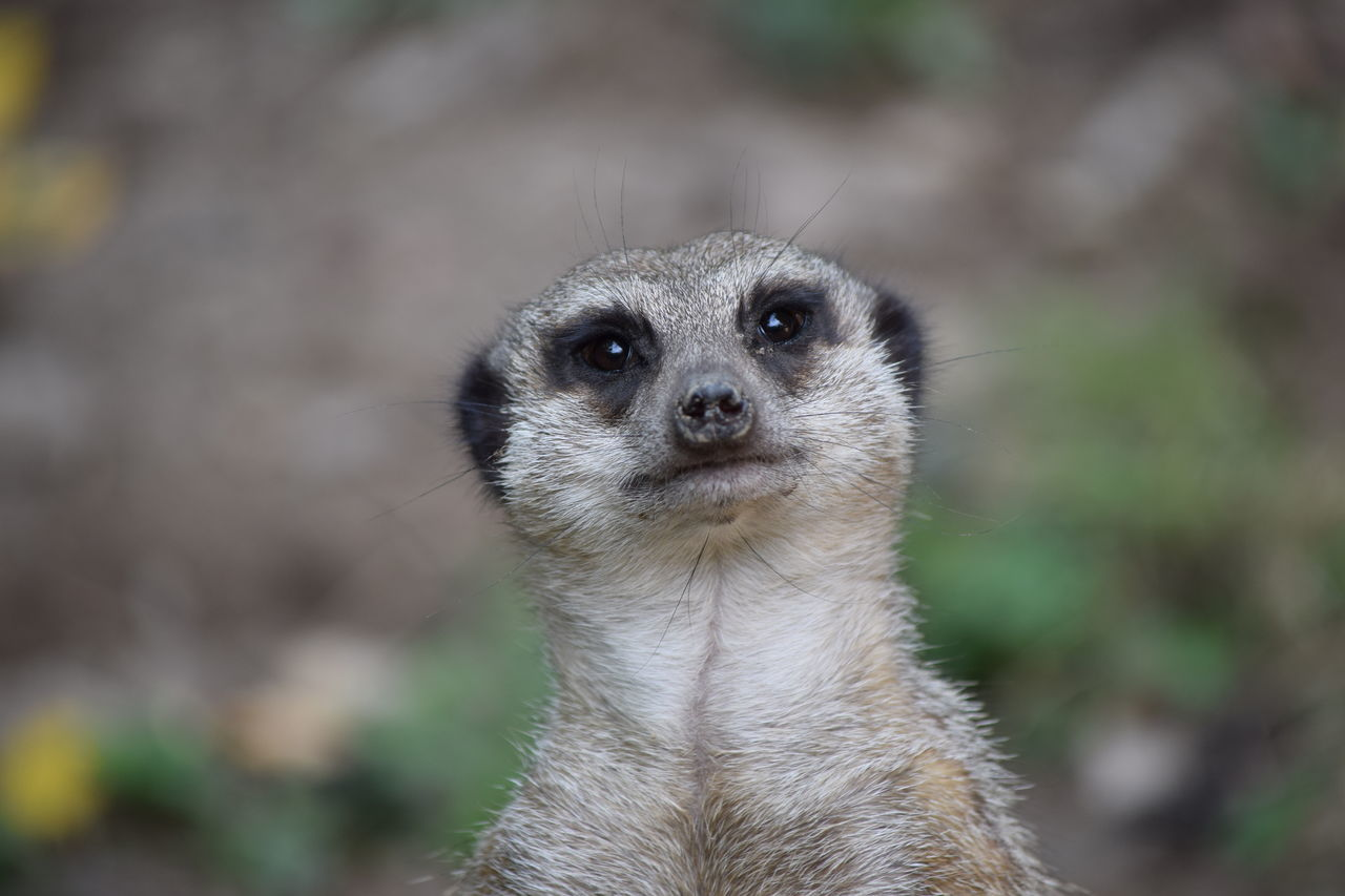 Suricate Animal Nose Animals In The Wild Close-up Day Focus On Foreground Holding Looking Looking At Camera Mammal Meerkat One Animal Outdoors Portrait Suricate Wildlife Zoo Zoology