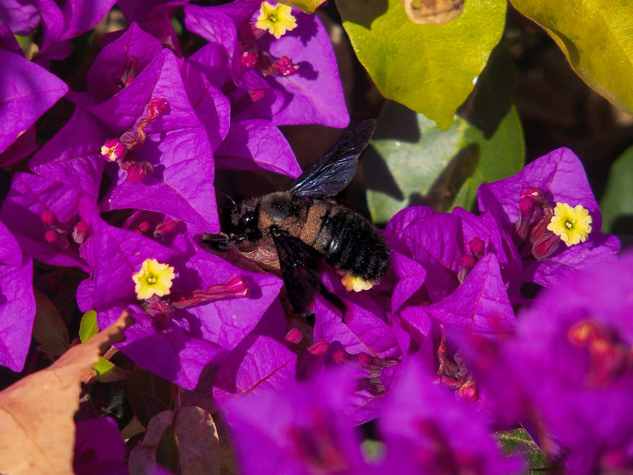 one animal, flower, animal themes, purple, animals in the wild, petal, insect, fragility, nature, high angle view, animal wildlife, no people, day, outdoors, beauty in nature, growth, pollination, flower head, bee, close-up, freshness, mammal