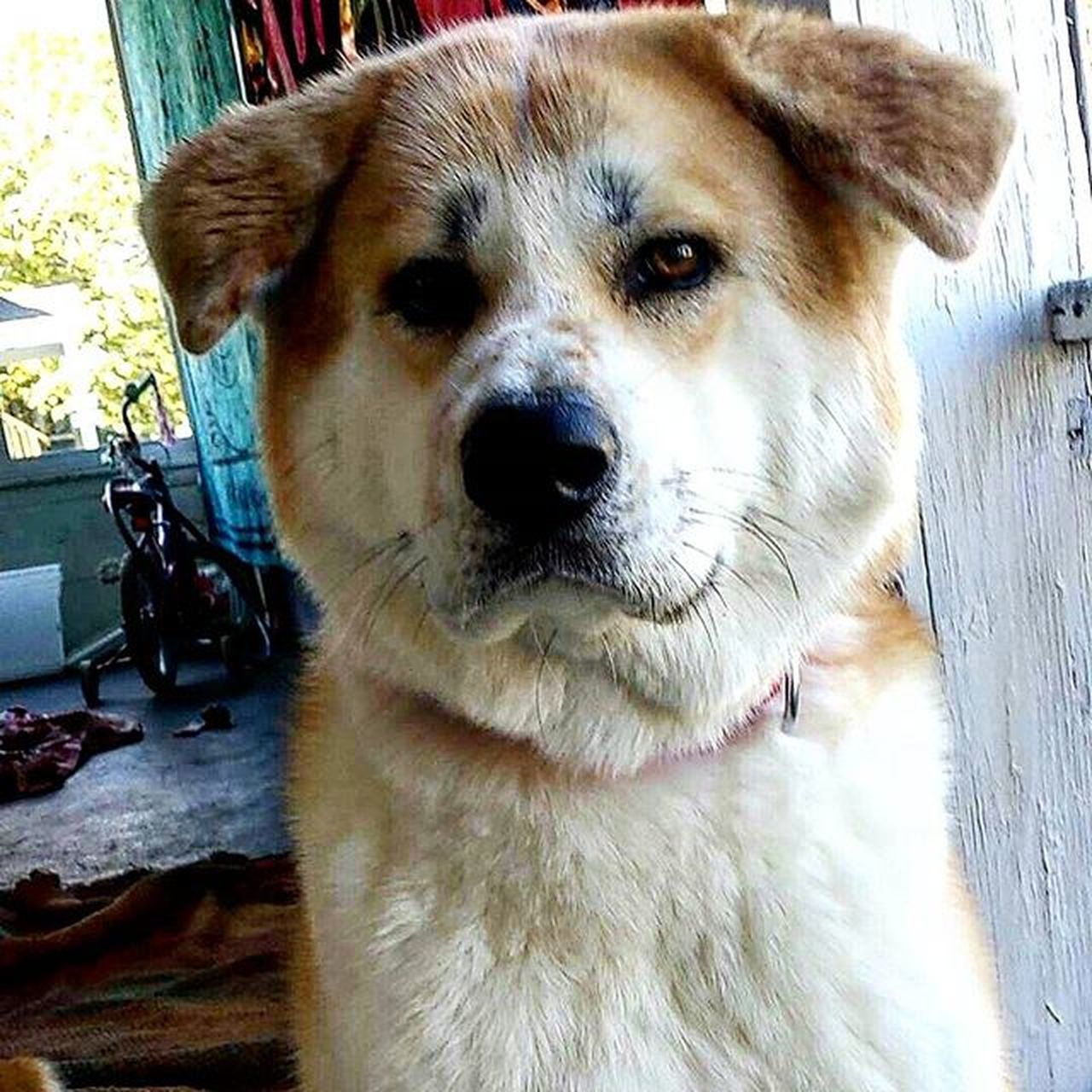 Babygirl AKA Hachi Japaneseakitainu Akitas Akitasofinstagram Pretty Puppy Dog Happy Loveher