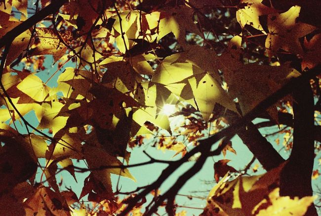 Olympus Om10 Momiji Maple Leaf Sunlight Yellowish フィルム Yellowlight Film Is Not Dead 35mm Film Overduefilm Film Photography Fall Beauty Autumn Leaves Colors Of Autumn Fall Leaves Maple Leaves 紅葉 Nature Light Up Your Life Multiple Layers Showing ImperfectionWarm Colors Warm Warm Light Photographic Memory