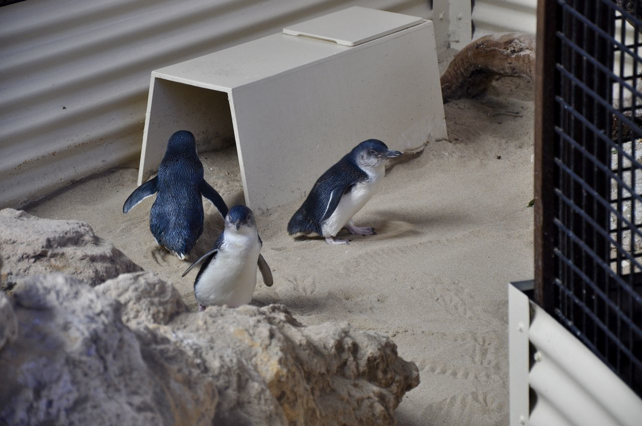 Little blue penguins with a nesting box at Penguin Island in Western Australia. Animal Photography Animal Themes Animals Australia Avian Beak Bird Bird Photography Cute Fairy Penguin Flipper Little Blue Penguin Looking Nesting Nesting Birds Nesting Box Penguin Island Penguins Small Three Tourist Waddling Western Australia Wildlife Zoology