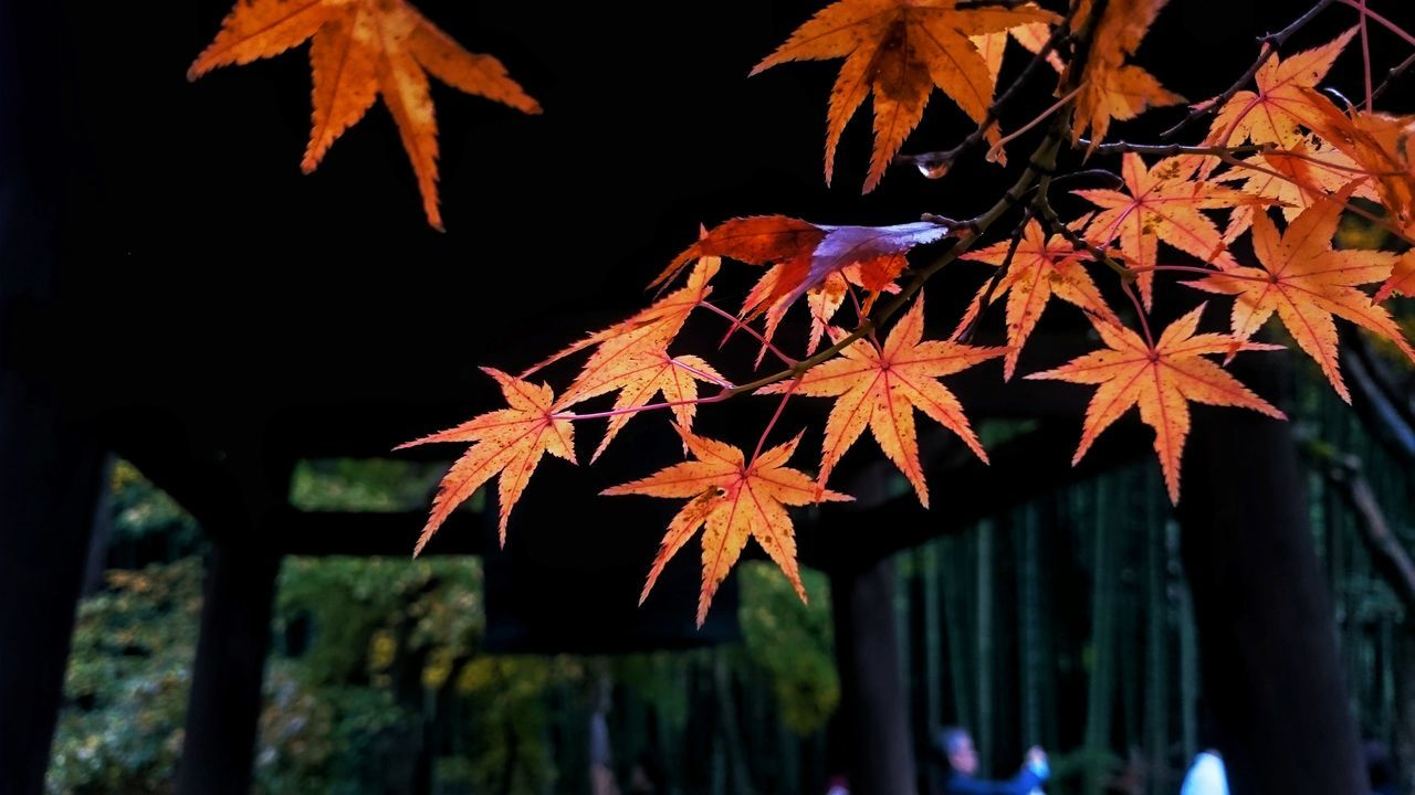 leaf, autumn, change, outdoors, maple leaf, nature, no people, day, low angle view, beauty in nature, tree, growth, maple, close-up