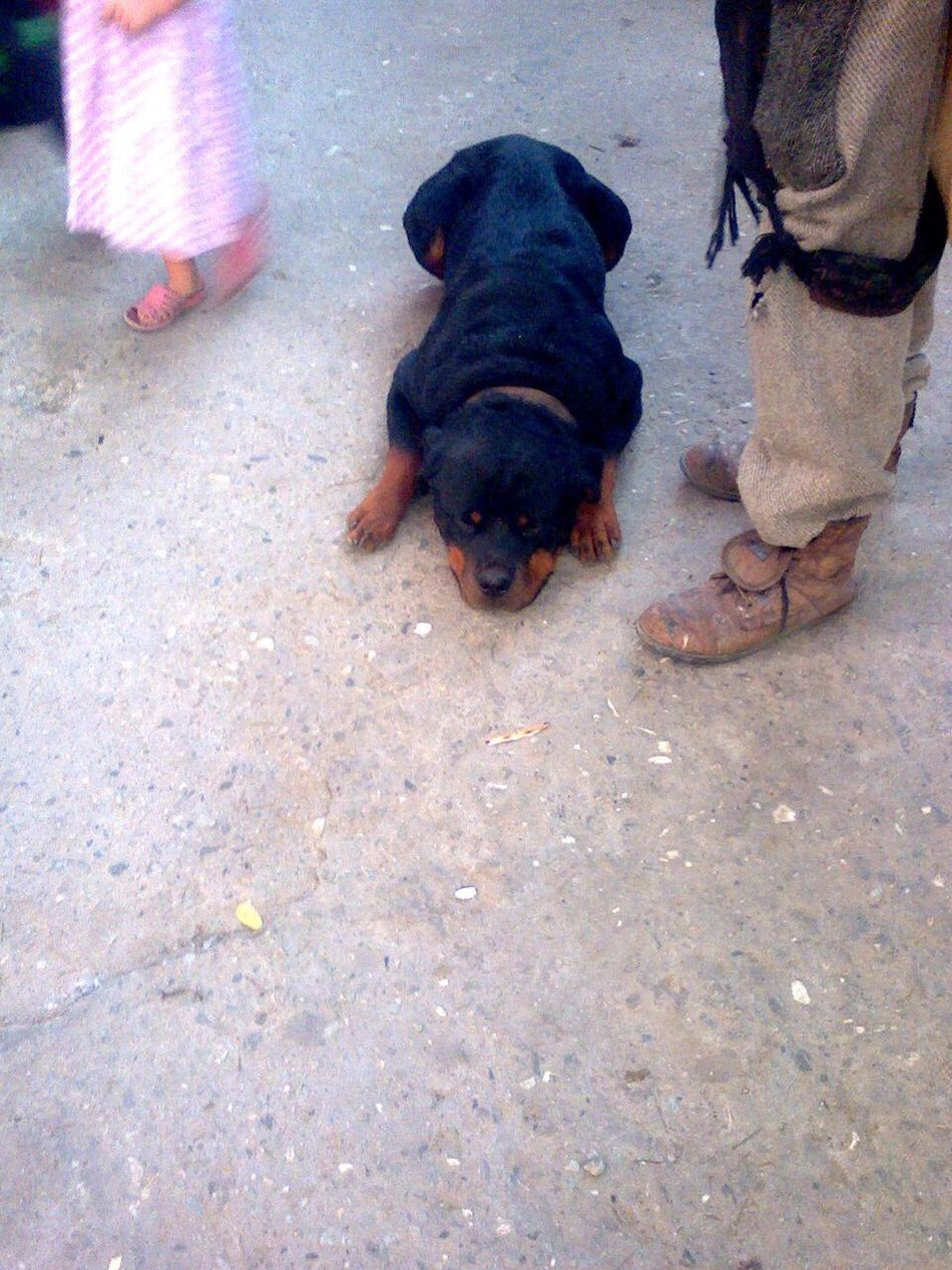 Rambo Rottweiler Dog Animal Themes Domestic Animals Mammal Pets One Animal Black Color Outdoors One Person Real People Low Section Day Human Leg Human Body Part