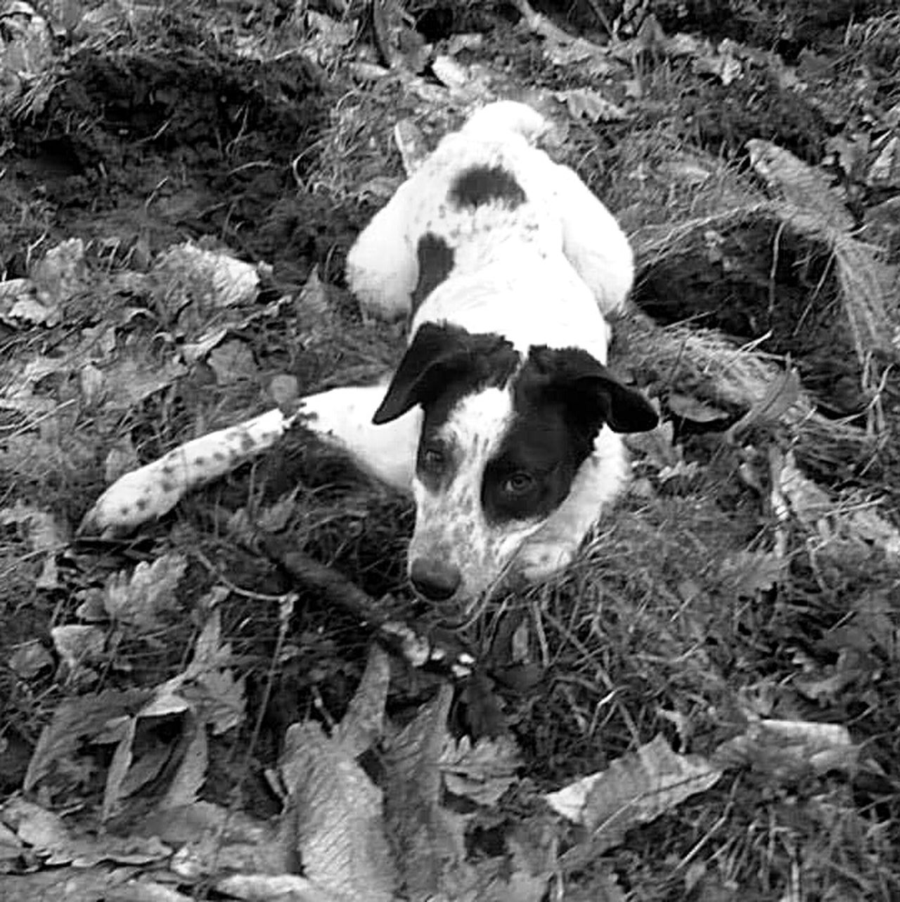 Dog Chien Noir Et Blanc Black And White Popular Photos Popular Tranquil Scene Animal Nose Babydog Animal Themes Chiende Berger Animal Chiens One Animal Domestic Animals No People Scenery Photography Selective Focus