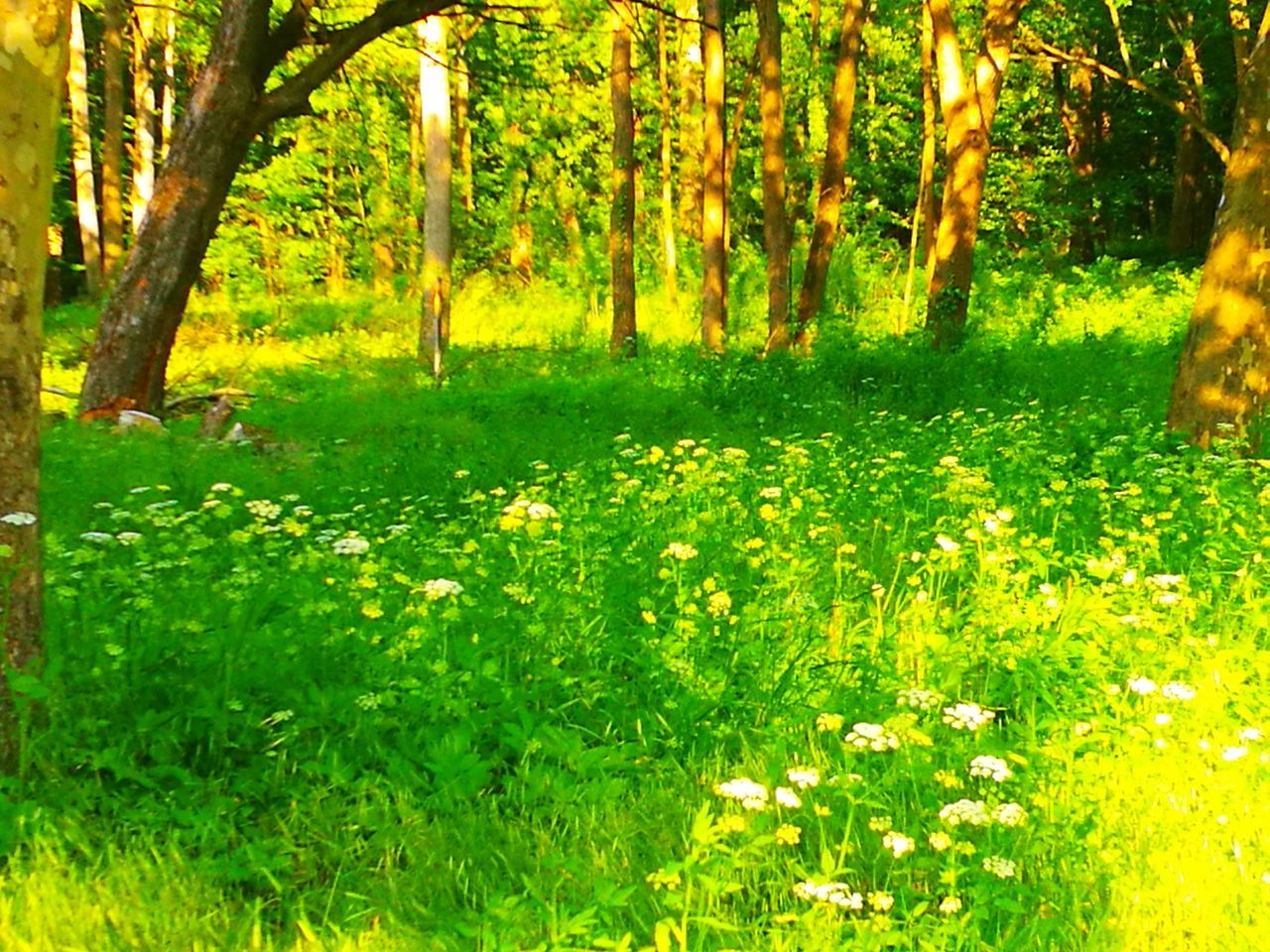 nature, forest, tree, growth, beauty in nature, grass, tranquility, day, outdoors, lush foliage, green color, tranquil scene, no people, plant, scenics, tree trunk, flower, freshness