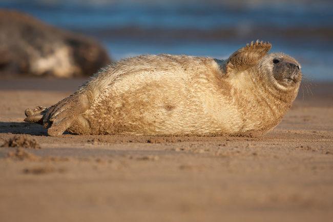 Cub Cute Donna Nook England Lincolnshire Ocean Puppy Sea Seal Sealife Wildlife